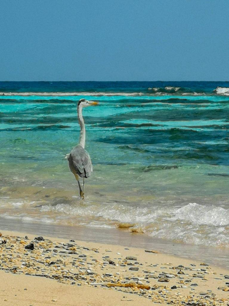 maldivianheron_birds_maldives